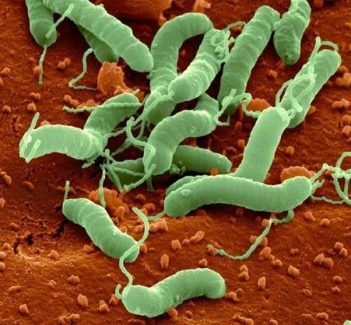 хеликобактер пилори лечится только антибиотиками