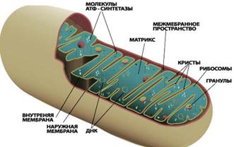 Митохондрии клетки