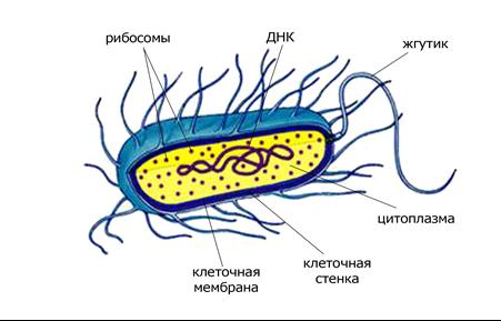 Прокариотическая клетка бактерий