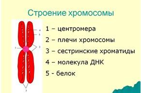 Строение хромосомы