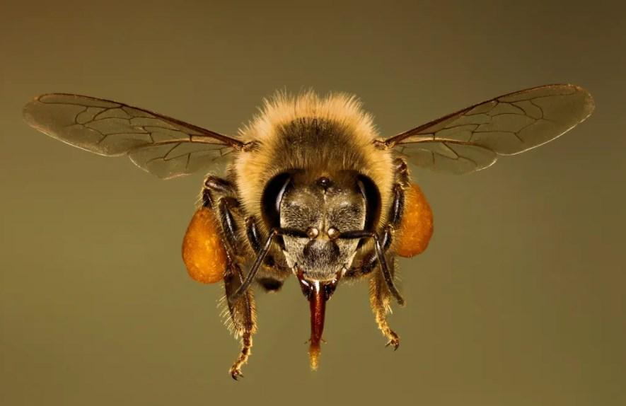 Пчелиный яд мелиттин убивает раковые клетки