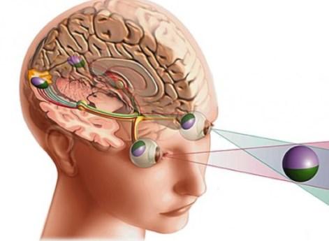Схема зрительной коры человека