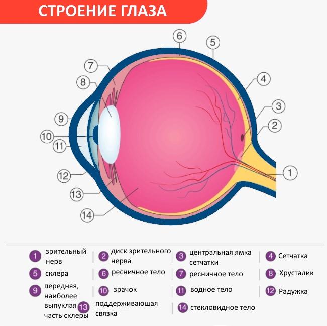 Строение глаза схема строения человеческого глаза