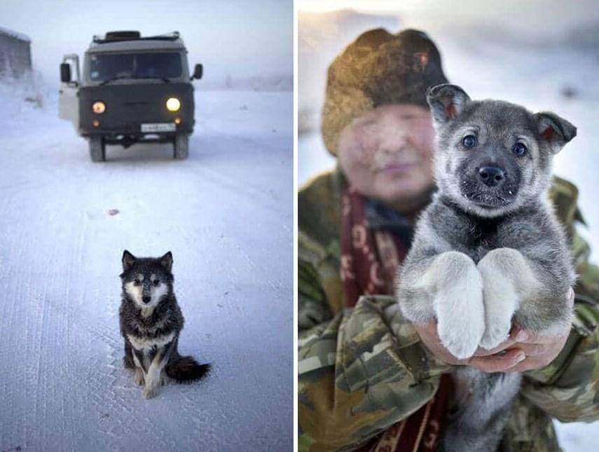Собаки в Оймяконе выносливые и холода не боятся
