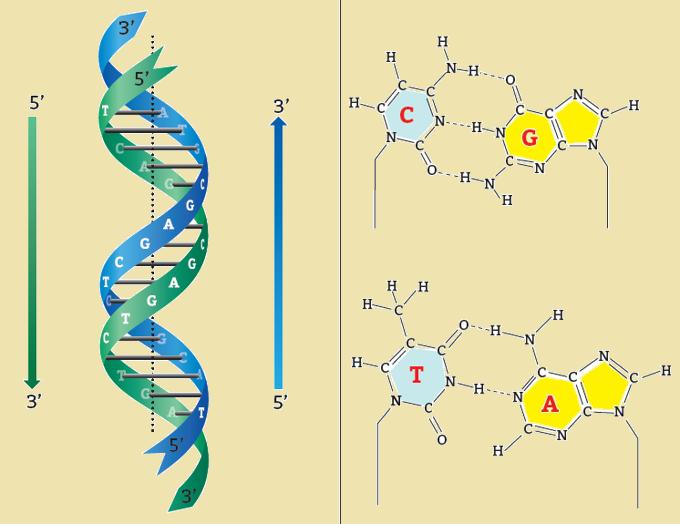 соединения азотистых оснований