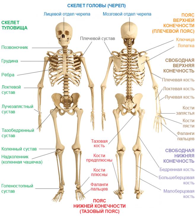 Главные части скелета