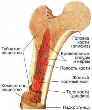 губчатая кость