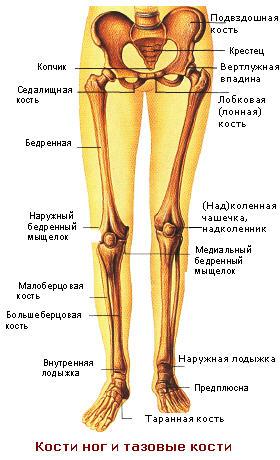 кости ног и тазовые кости