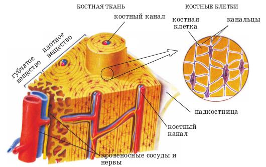 костная ткань и костные клетки