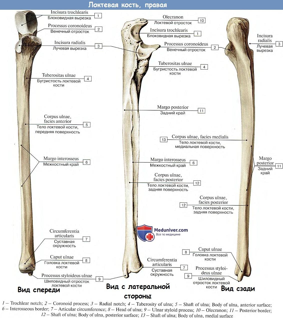 Локтевая кость(ulna), парная