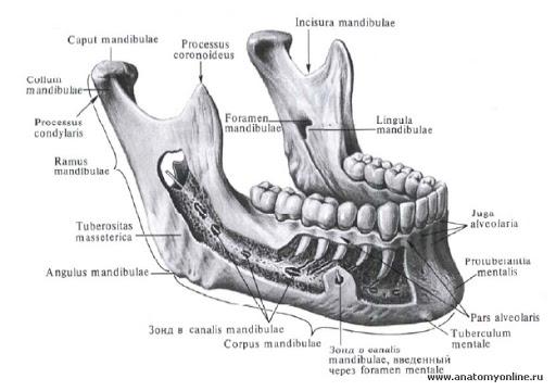 нижняя челюсть (mandibula)