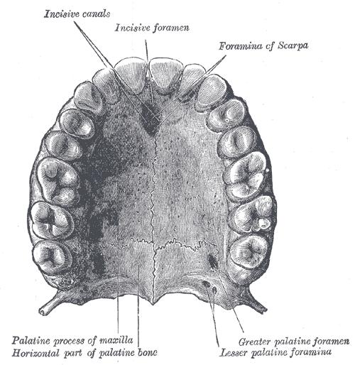 нёбная кость (os palatinum);