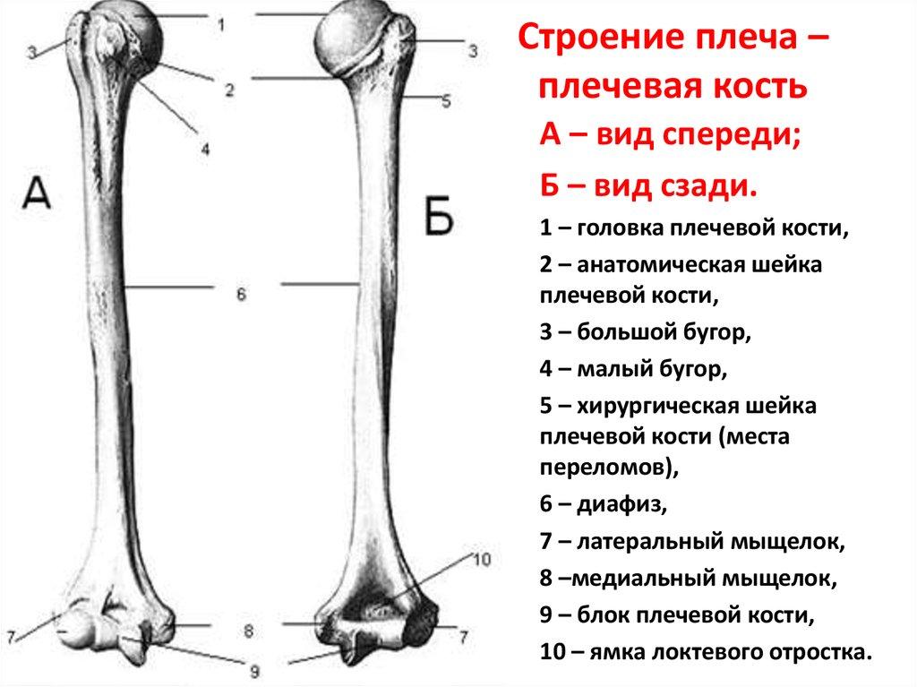 Плечевая кость (humerus), парная