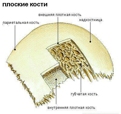 плоская кость