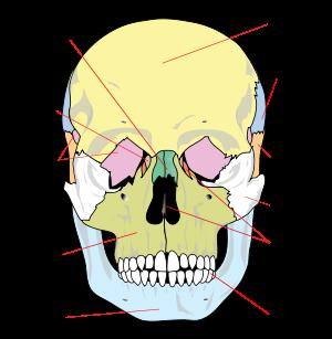 схема скелета головы