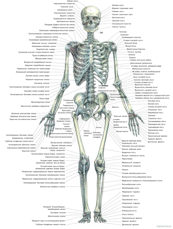 Скелет человека, вид спереди