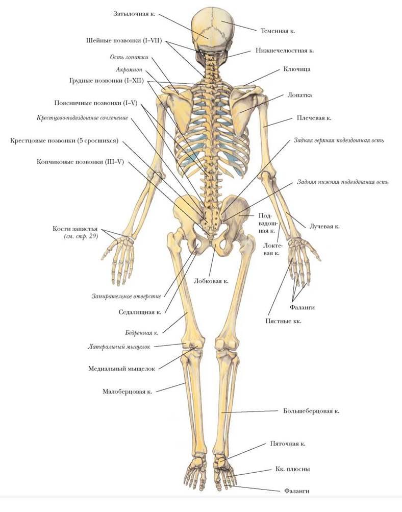 Скелет человека, вид сзади