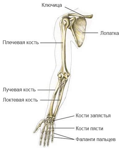 Скелет плечевого пояса и руки