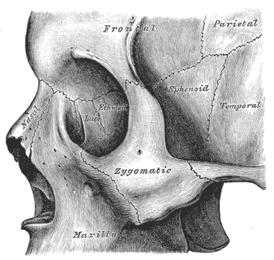 скуловая кость(os zygomaticum)