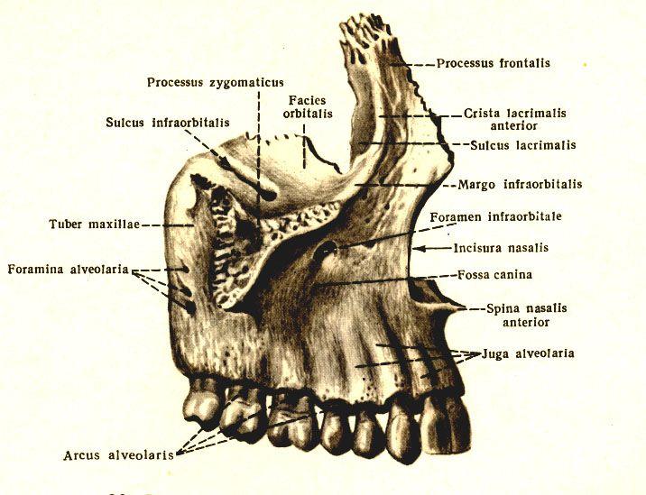 верхняя челюсть (maxilla)