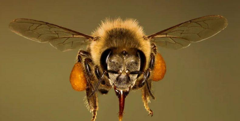 Пчелиный яд убивает раковые клетки