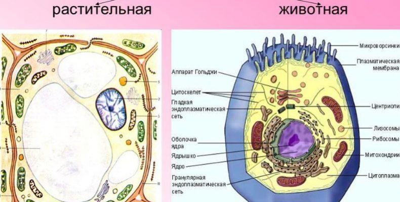 Сравнение растительной и животной клетки